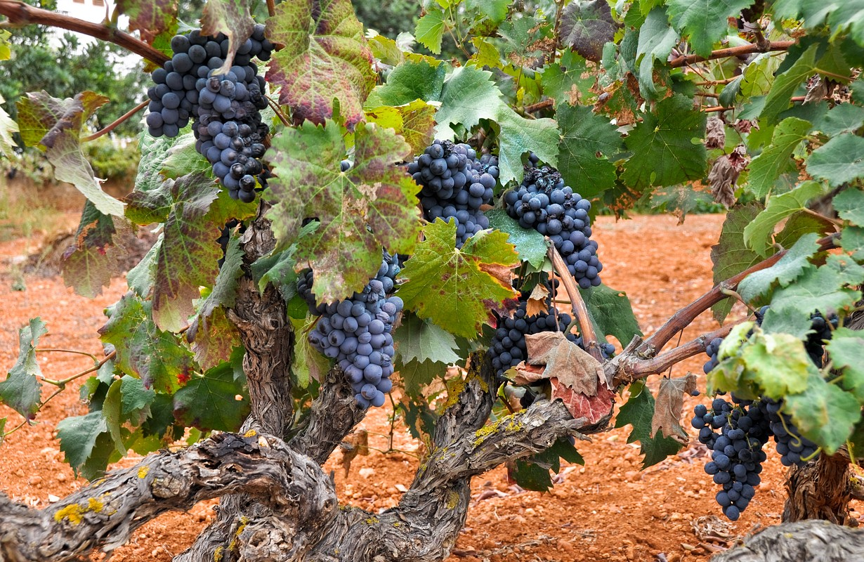 Grapes in a vineyard (Spain)