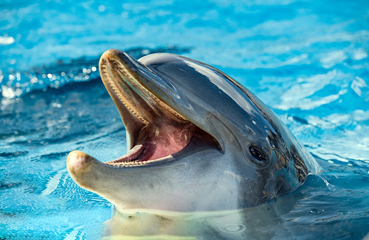 Common dolphin portrait while looking at you with open mouth