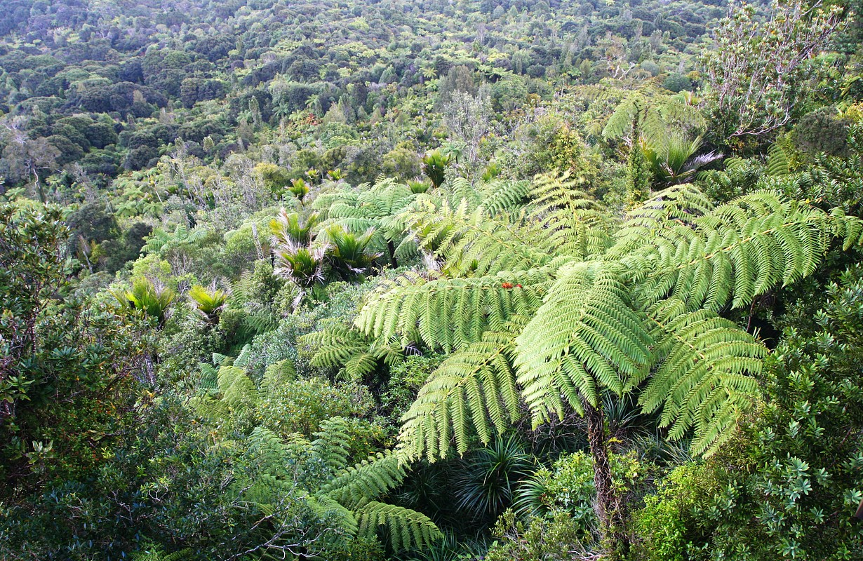 Tree ferns, Waitakere range, New Zealand