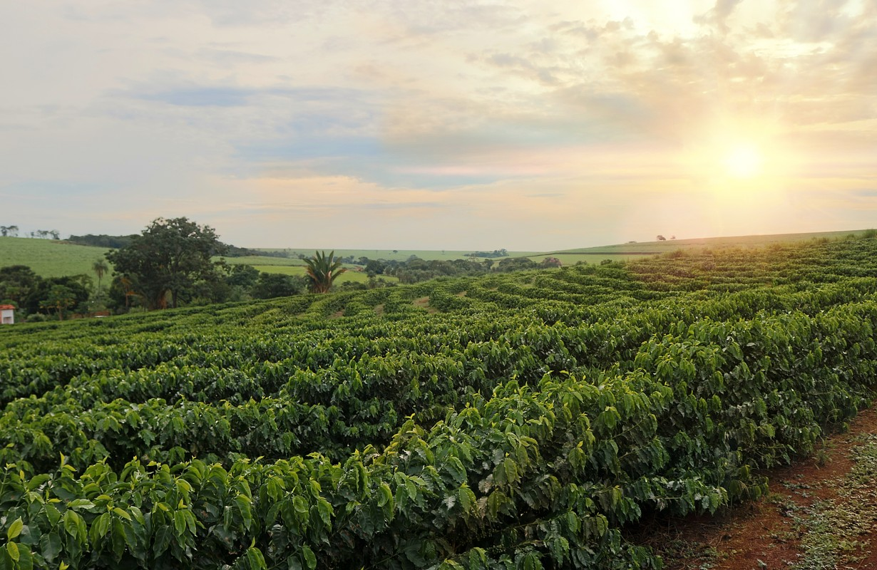Coffee plantation during sunset