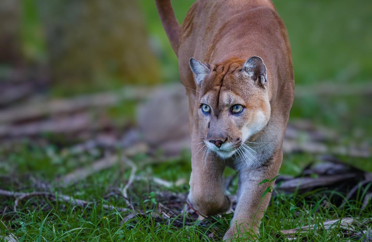 Florida Panther, puma, or cougar, walks through the brush as it stalks its prey-Edit