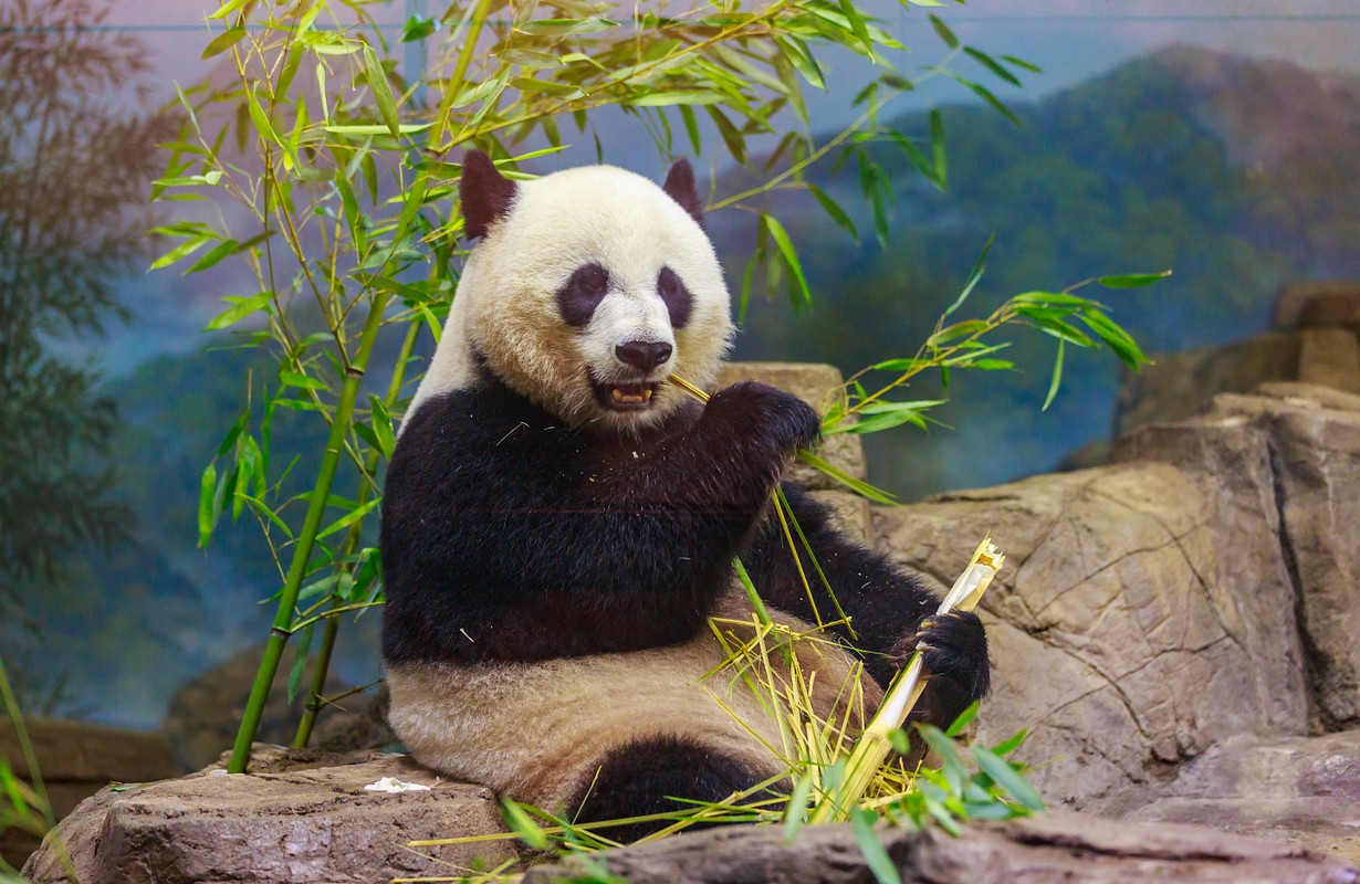 Hungry giant panda bear eating bamboo.