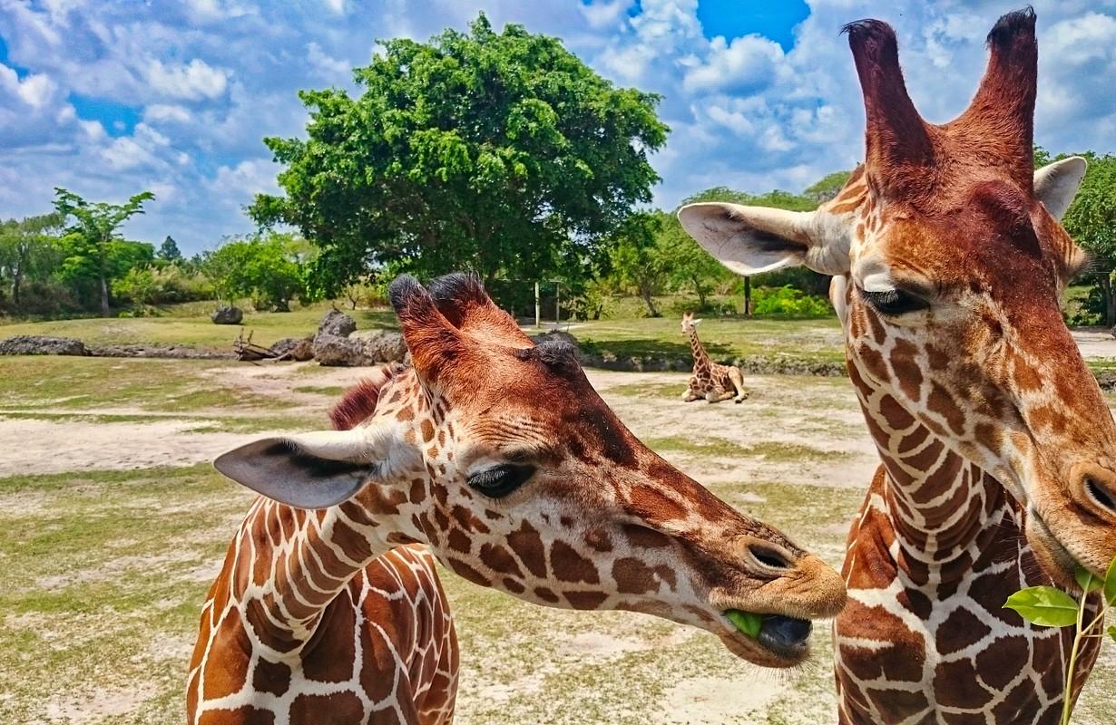 Giraffes at Zoo Miami
