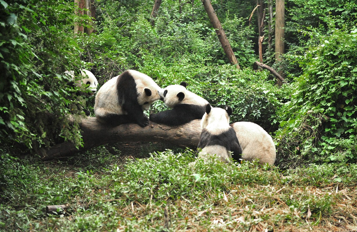 Panda in playing time in Chengdu Research Base of Giant Panda