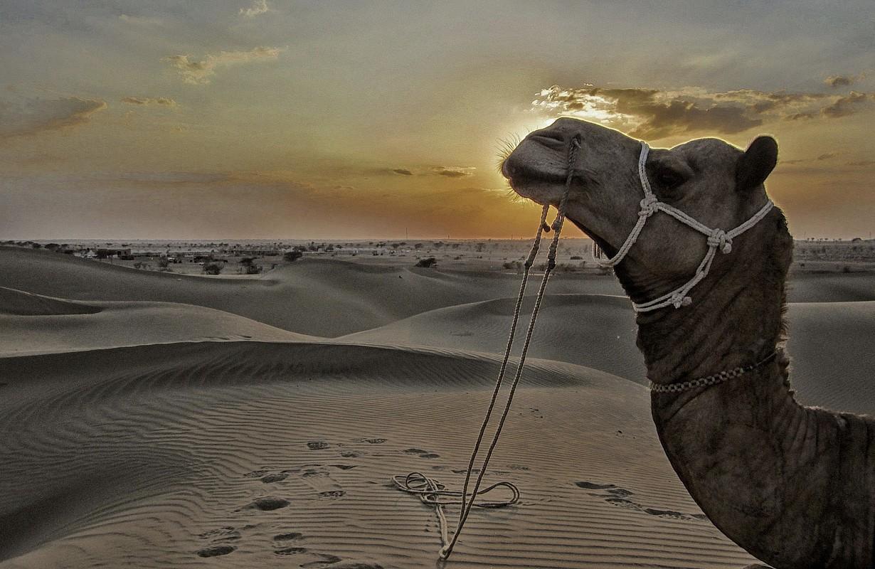 Camel, Sand Dunes and Desert