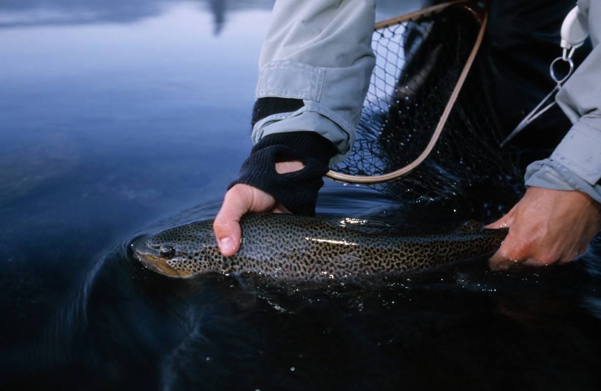 A fisherman is putting a trout back in to the water, Sweden.