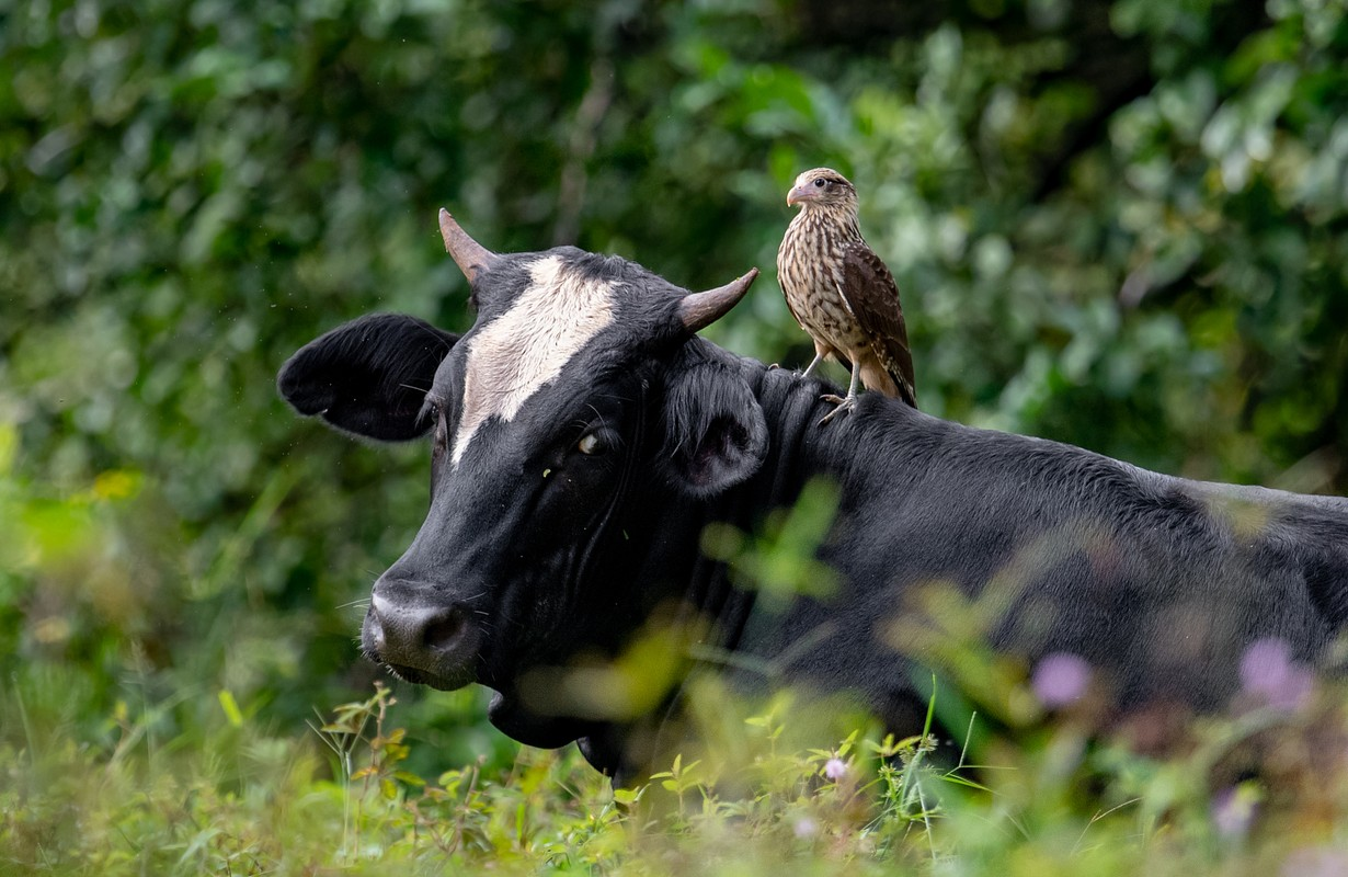 Costa Rican bird and cow