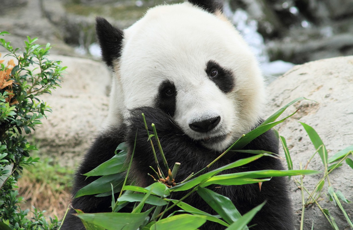 lovely giant panda eating bamboo leaves