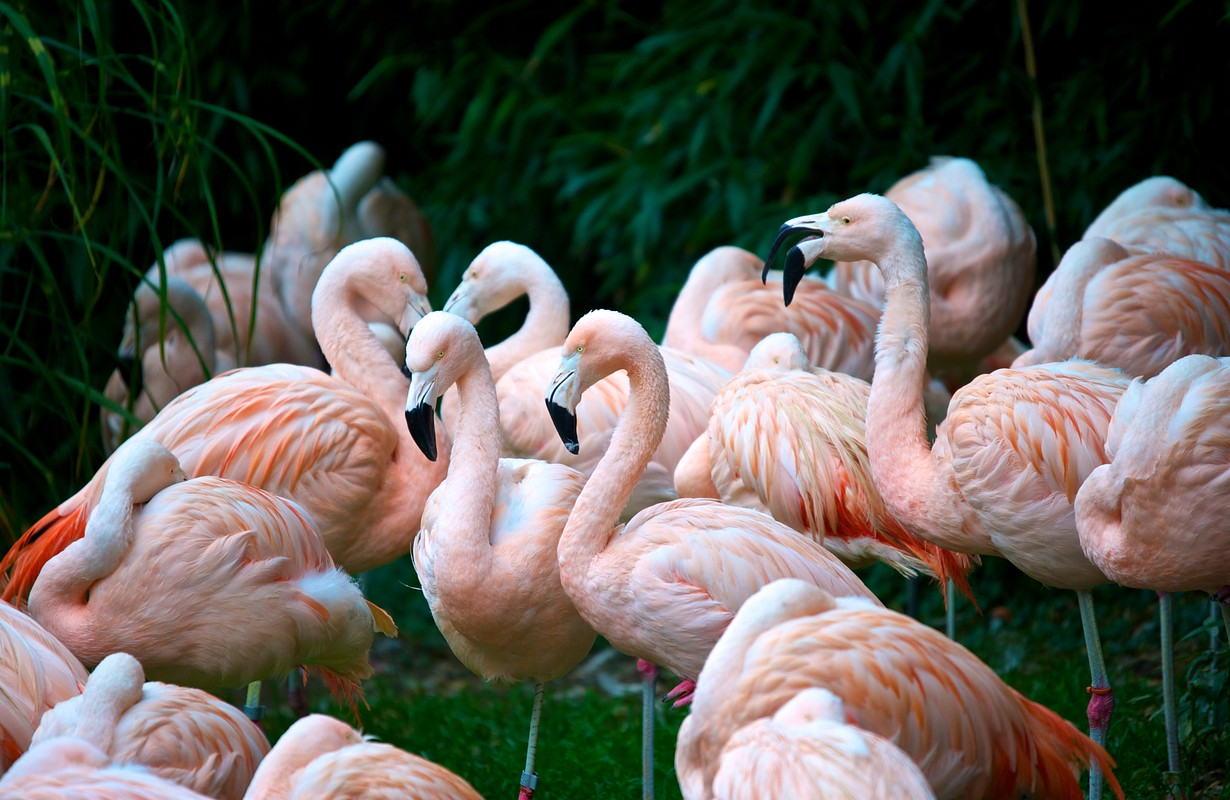 Group of pink flamingos in the Zurich's zoo