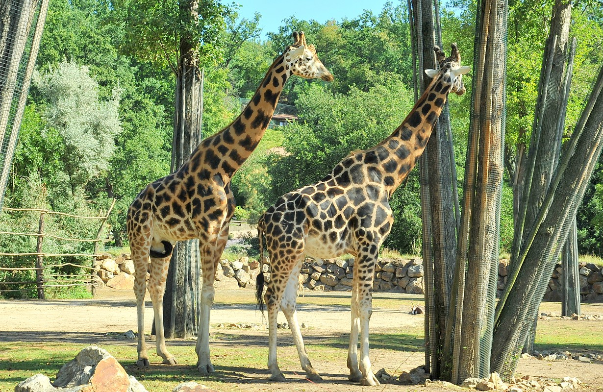 Giraffes at Zoo and Botanical Garden in Pilsen, Czech Republic