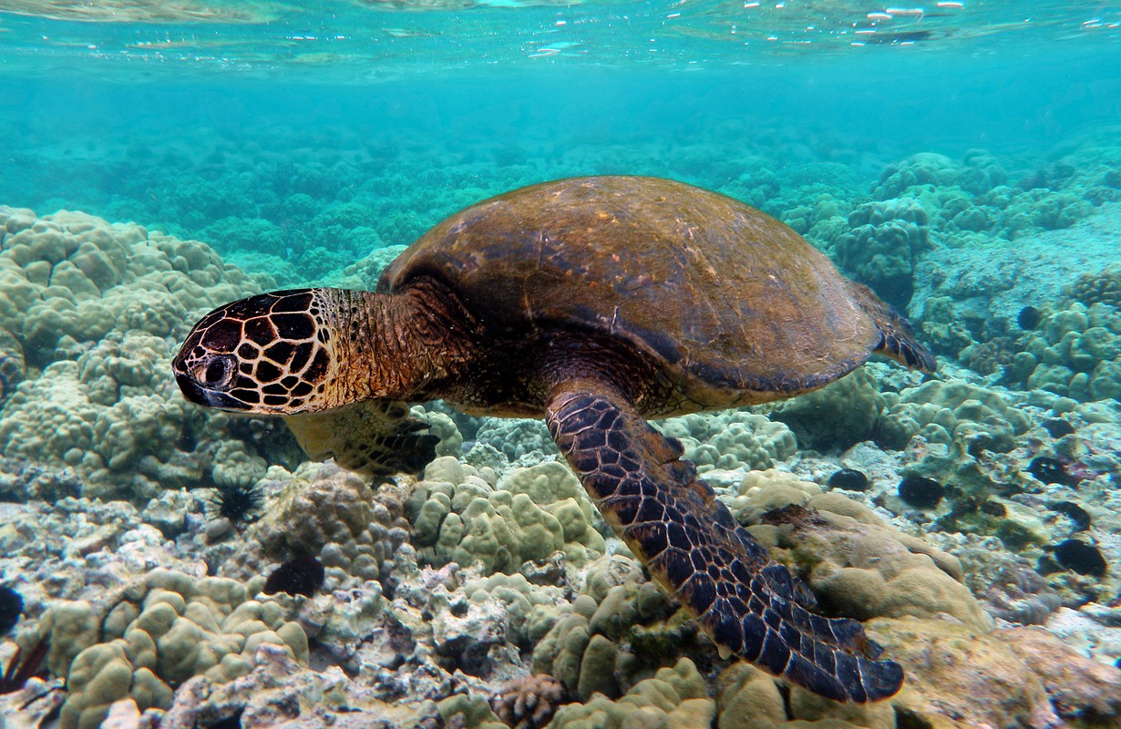 Green turtle swimming over coral reefs