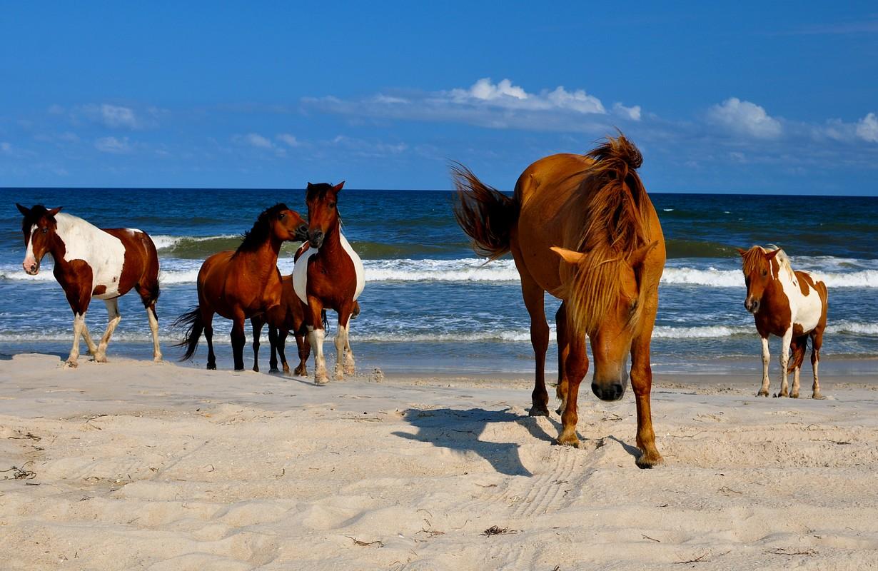Wild Horses at Atlantic Seashore Beach