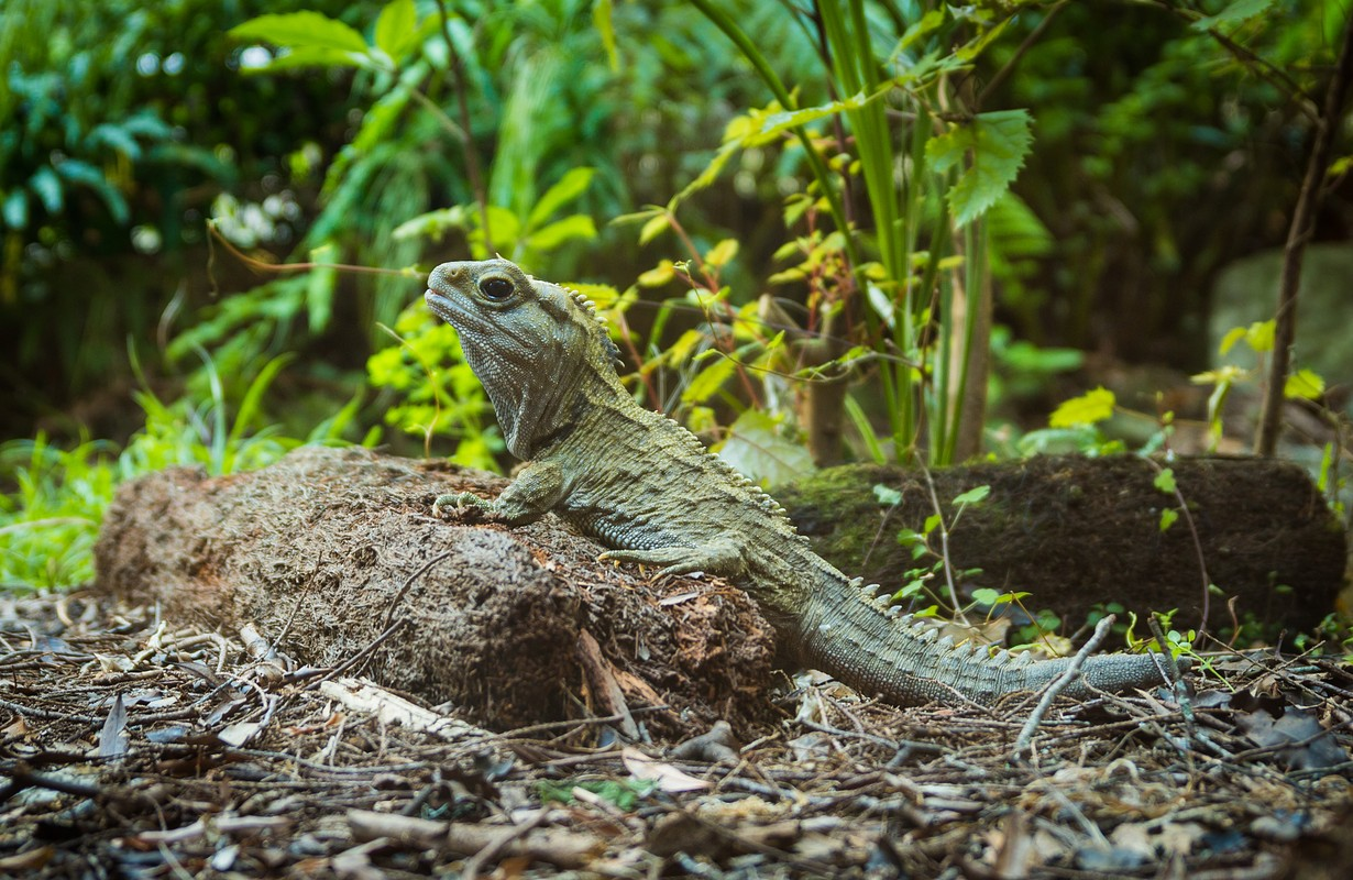 Tuatara is a reptile of New Zeaalnd dating back to the dinosaurs.