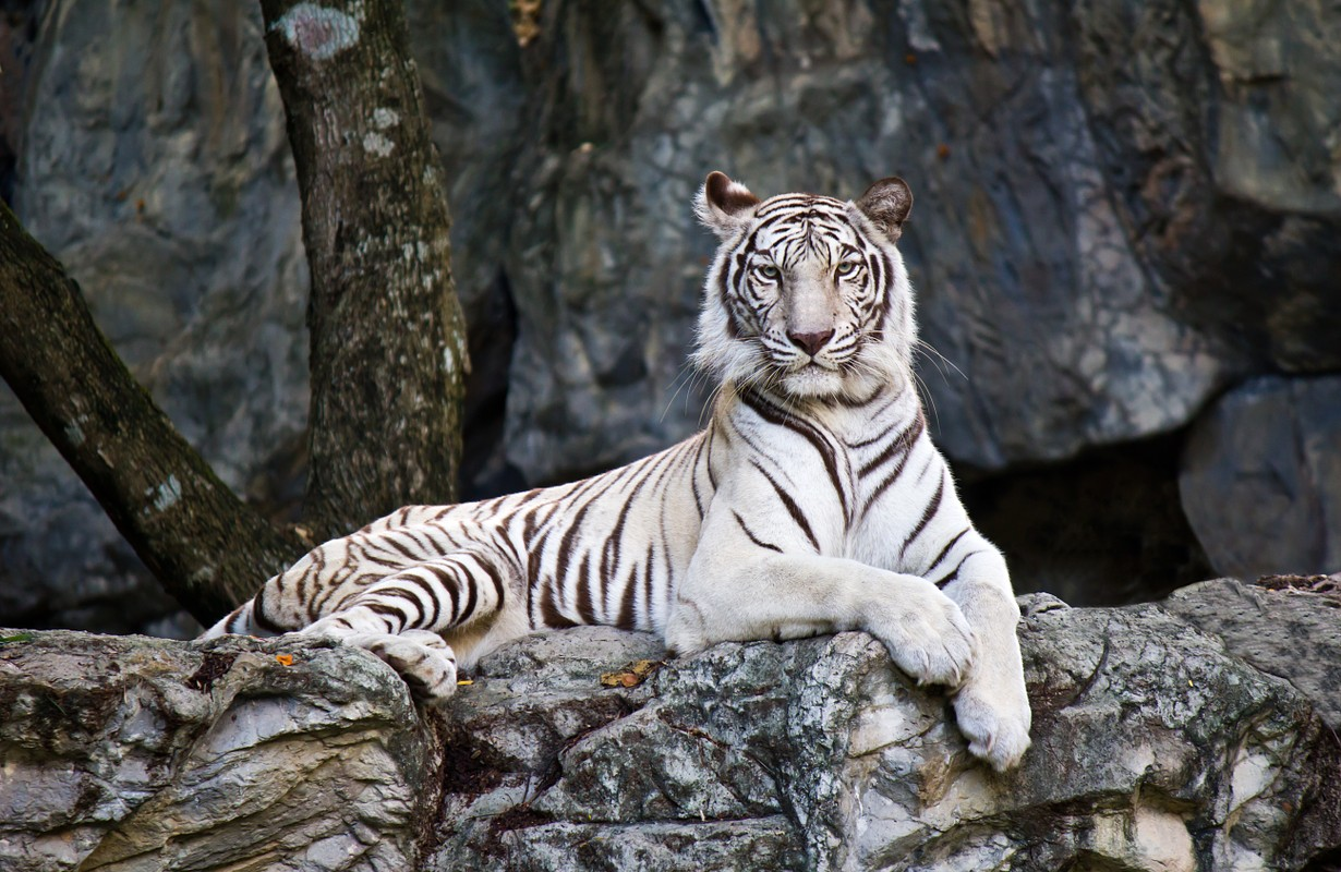 White Bengal Tiger lying on rock