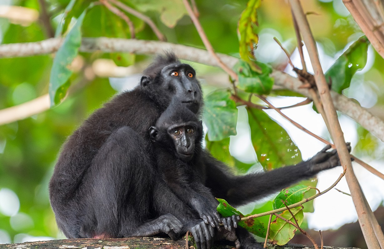 The Celebes crested macaque with cub on the branch of the tree