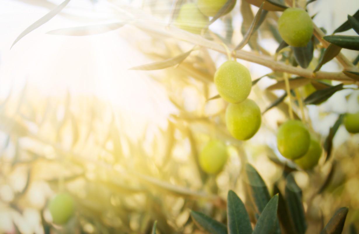 Olives on olive tree in autumn. Season nature image