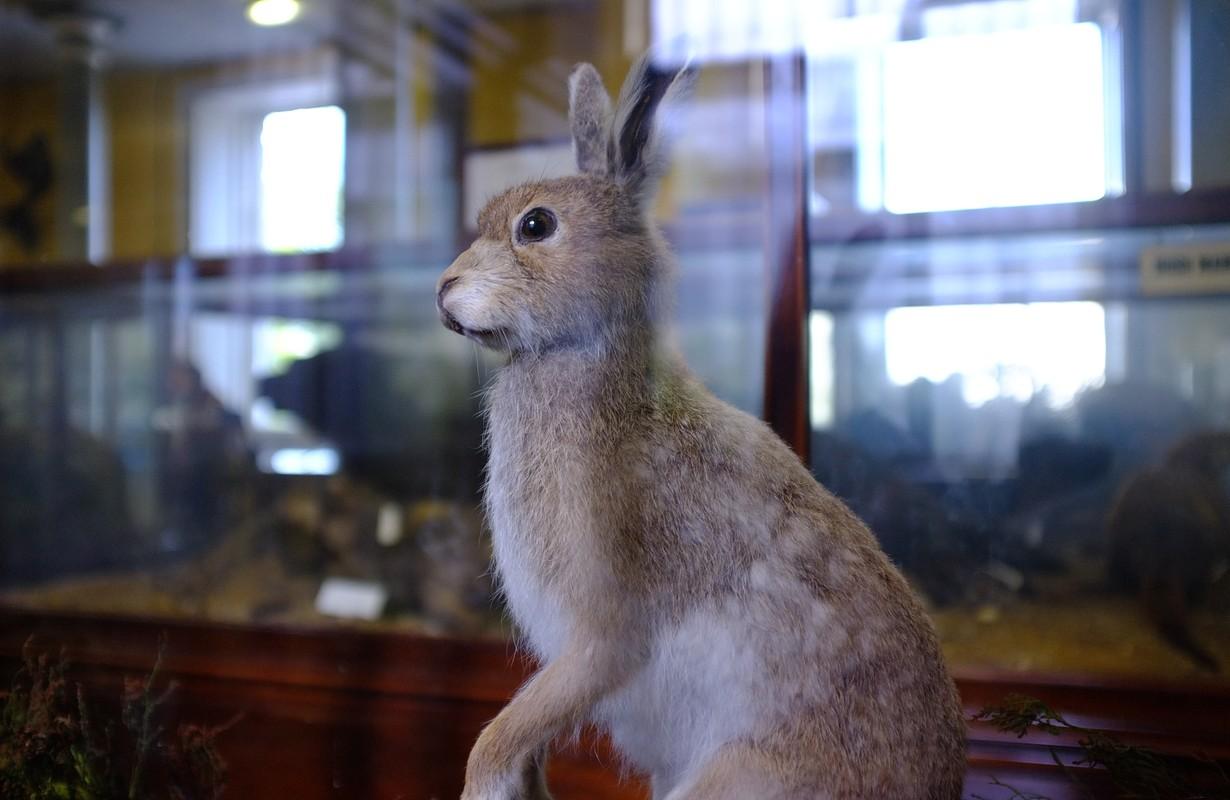 natural history museum irish hare