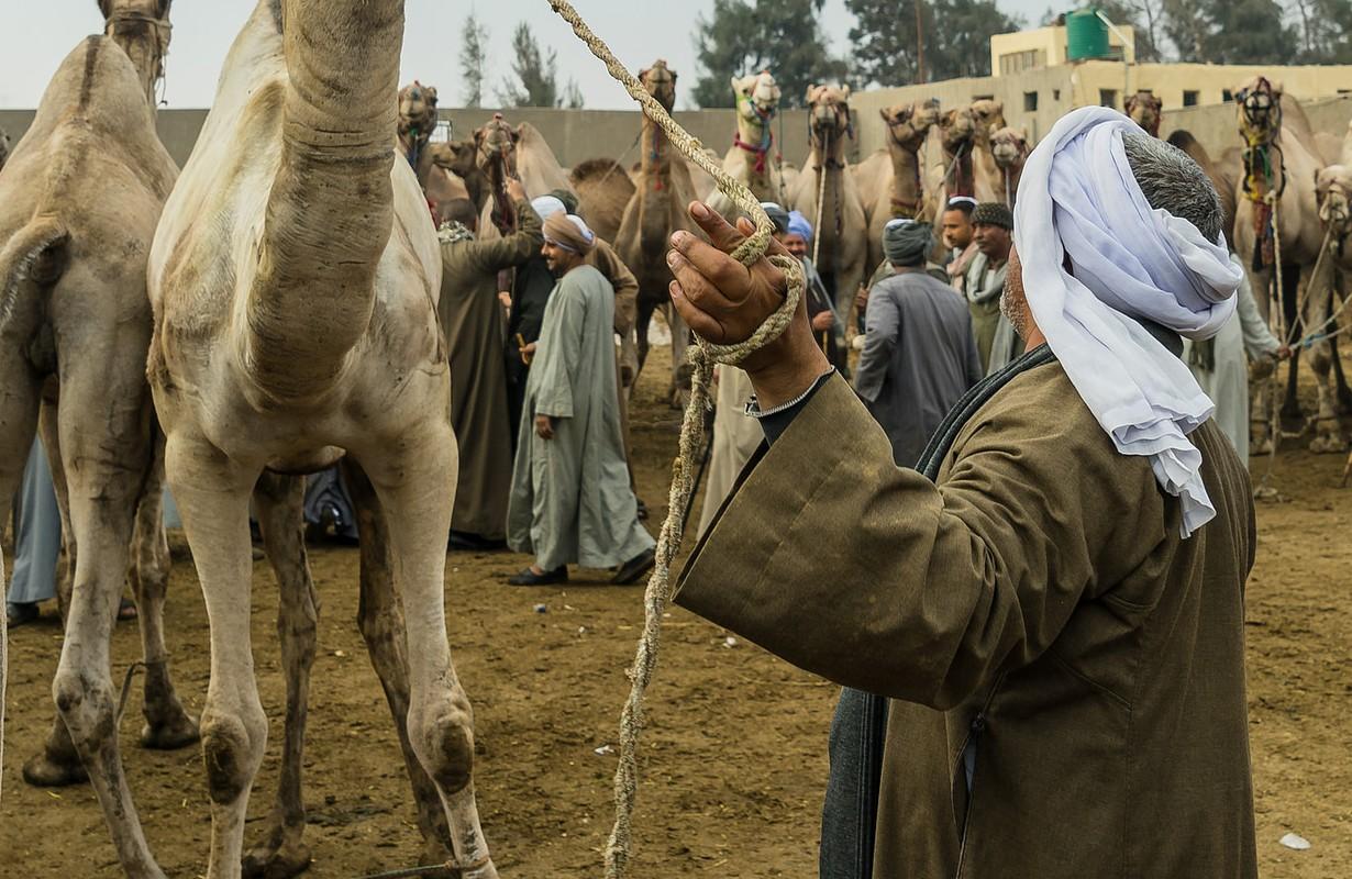 Birqash Camels