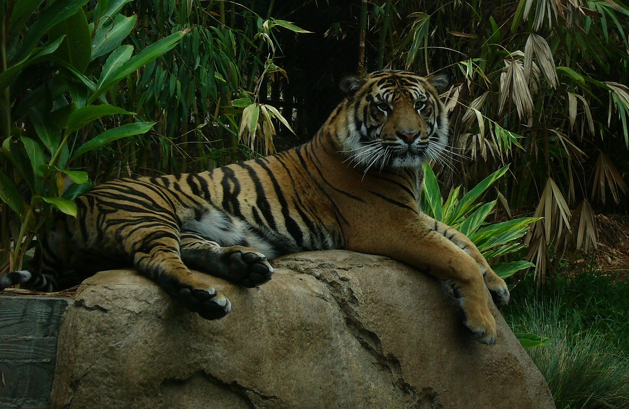 Tiger at the San Diego Zoo