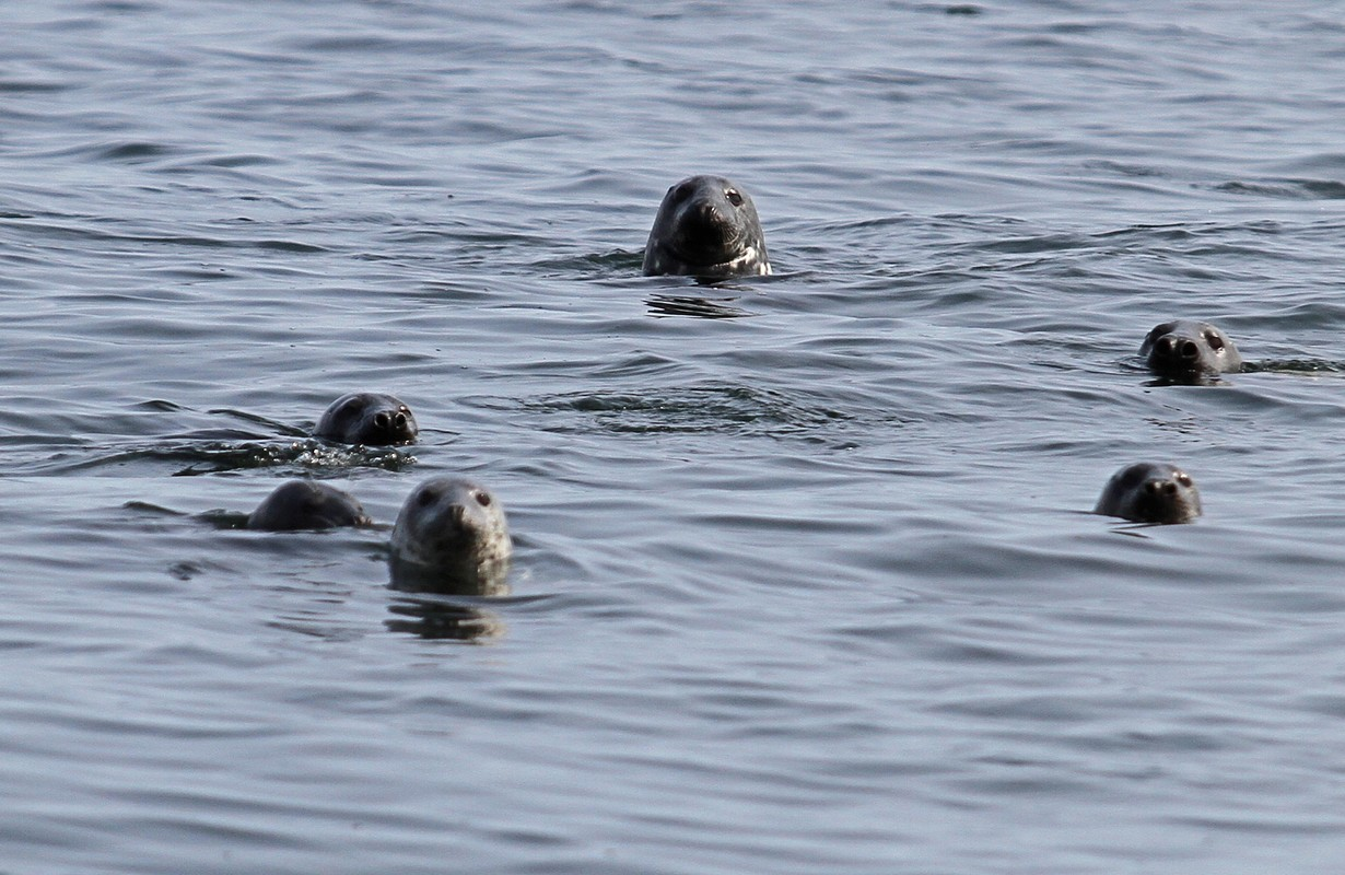 Seals at Utklippan Karlskrona