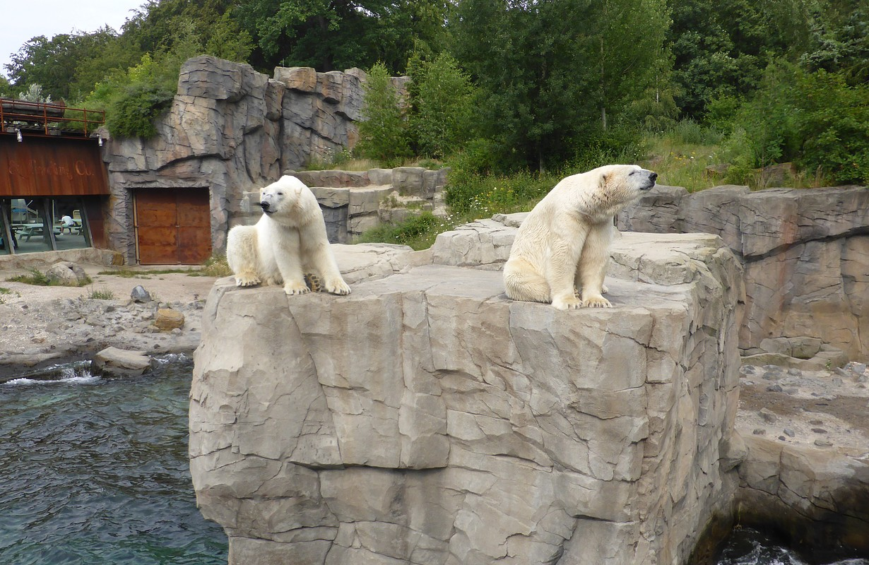 Polar bear in Hannover Zoo
