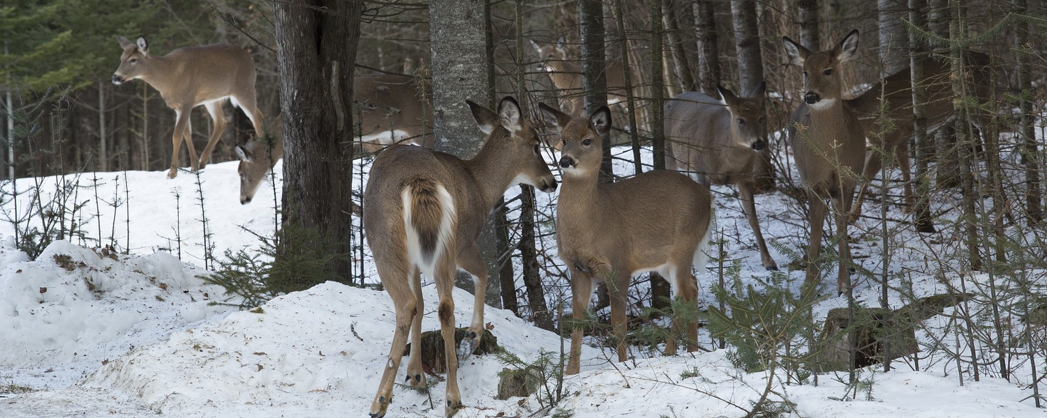 Rangeley deer