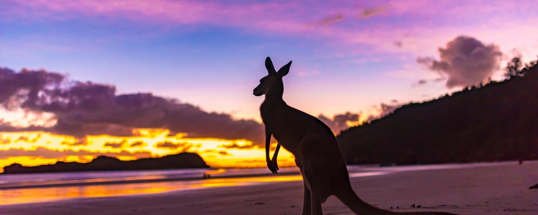 a kangaroo on the beach at sunset