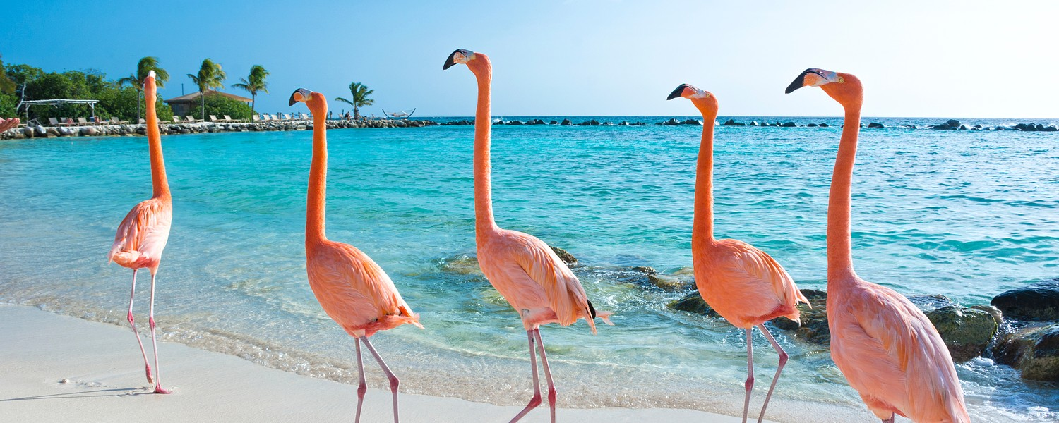 flamingoes in Aruba