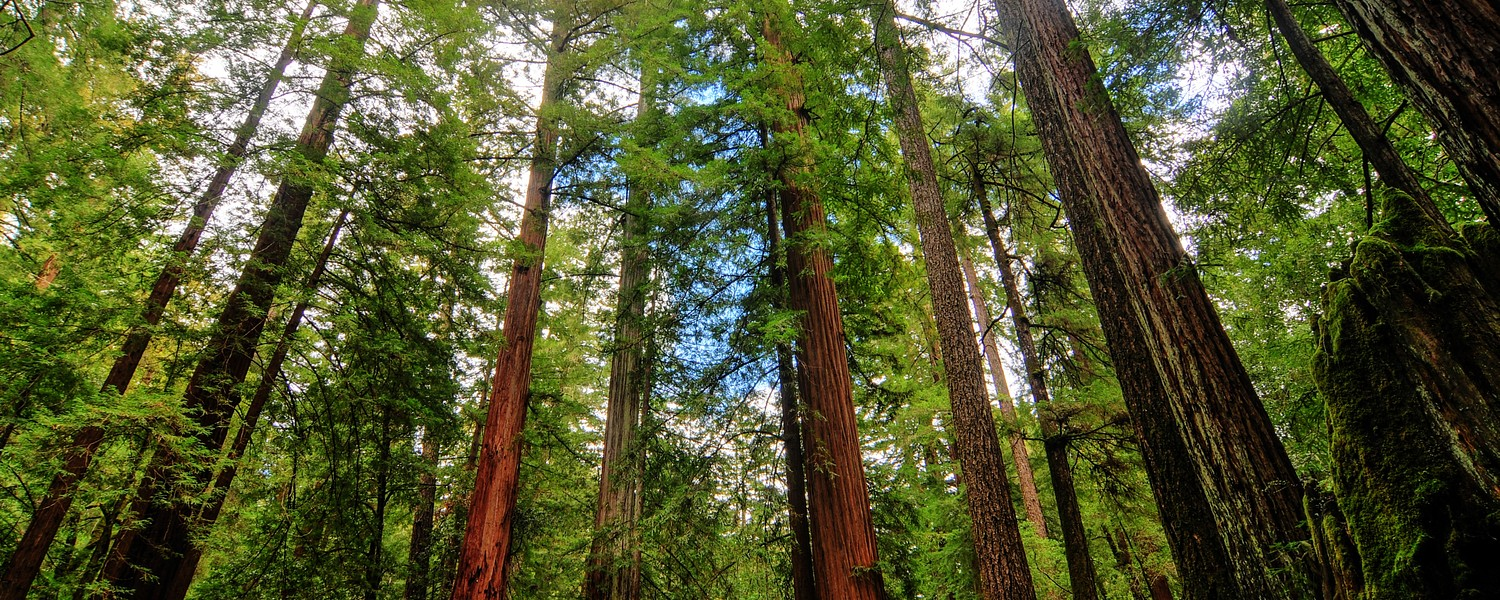 Sequoia Trees in Big Basin Redwoods State Park