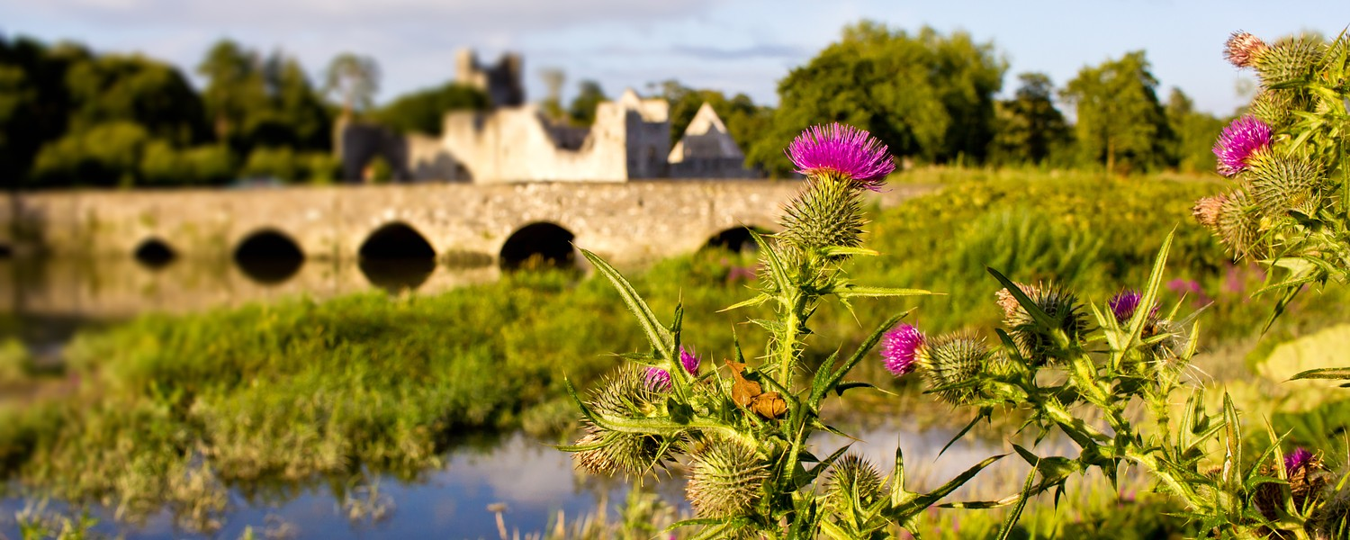 Thistle flower plant with historic Adare town bridge and Desmond Castle on the background in the County Limerick, Ireland