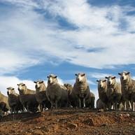 Bredbo Sheep Dog Trials