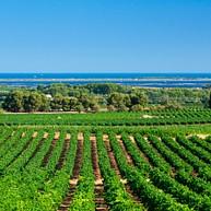 地中海埃罗的葡萄园