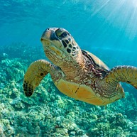 Auala Green Turtle Conservation