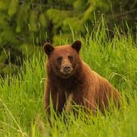 Whistler Bear Viewing Tours