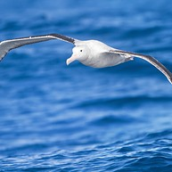 Dunedin's Royal Albatross Colony