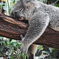 Lone Pine Koala Sanktuarium