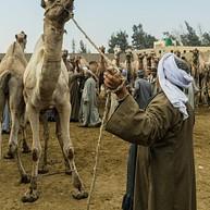The New Camel Market