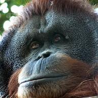 Shangri-La's Orangutan Care Project