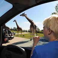 Safari im Auto