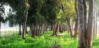 Path of the eucalyptus