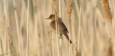 Getteröns Naturum - Vogelschutzgebiet