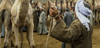 The New Camel Market