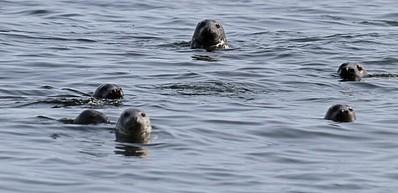 Safari de découverte des phoques dans les îles Utklippan