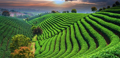 Longjing Tea Fields / 龙井茶园